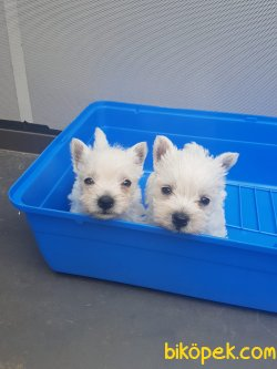 West Hingland White Terrier Yavrularımız