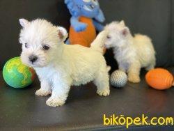 Whest Higland White Terrier Yavrularımız