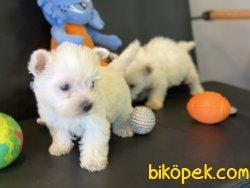 Whest Hinland White Terrier Yavrularımız