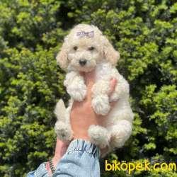 White Minyatür Poodle Yavrularımız 2