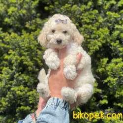 White Minyatür Poodle Yavrularımız