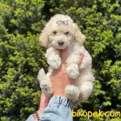White Minyatür Poodle Yavrularımız 4