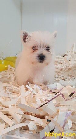 Whıte Terrier Yavruları