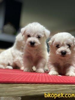 Xs Tüy Dökmeyen Maltese Terrier Bebeklerimiz