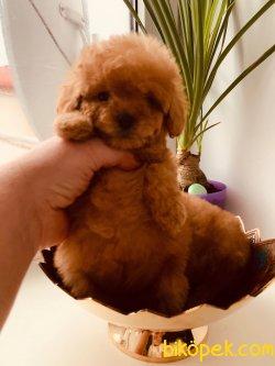 XsVe Toy Boyutlarında Poodle Bebeklerimiz 1