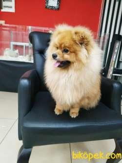 Yakışıklı Pomeranian Oğlumuz Alex 3