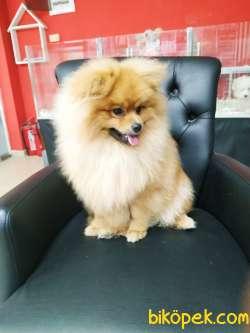 Yakışıklı Pomeranian Oğlumuz Alex 2