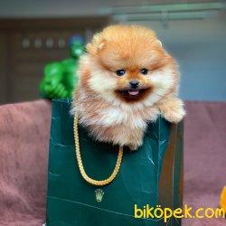 Yarışma Düzeyi Pomeranian 'RANGE'