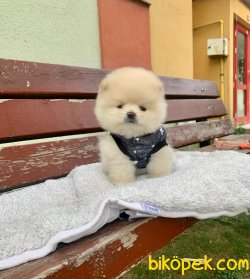 YAVRU POMERANİAN BOO TEDDY BEAR