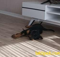 Yavru Rottweiler 1