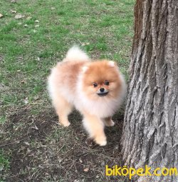 Yavru Ve Yetişkin En Kaliteli Orjinal Boo Dog Pomeranian
