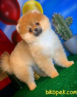Yavrupatiler Den Saf Kan Irk Pomeranian Kızımız Milky / Yarışma 3