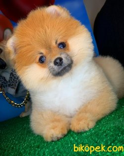 Yavrupatiler Den Saf Kan Irk Pomeranian Kızımız Milky / Yarışma 5