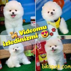 Yavrupatiler Den Saf Kan / Pomeranian Boo Yavru Oğlumuz Koko
