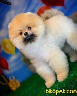 Scr Li Saf Kan Pomeranian Oğlumuz Ticky 3