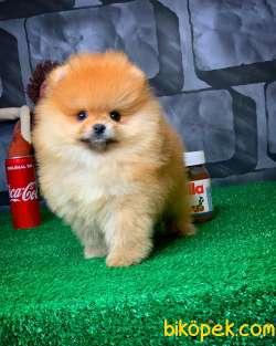 Yavrupatiler Güvencesiyle Pomeranian Boo Yavrularımız