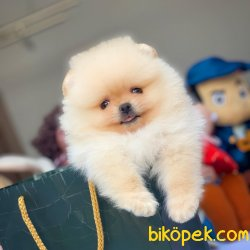 Yeni Gelen Krem Renk Pomeranian Yavrumuz