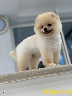 Yeni Gelen Pomeranian  Boo Yavrumuz