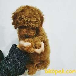 Yeni Gelen Toy Poodle Yavrular