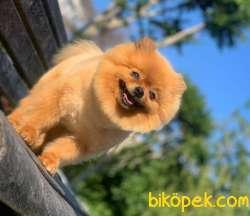 Yetişkin Dişi Pomeranian BOO Yavrum