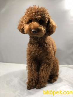 Yetişkin  Toy Poodle