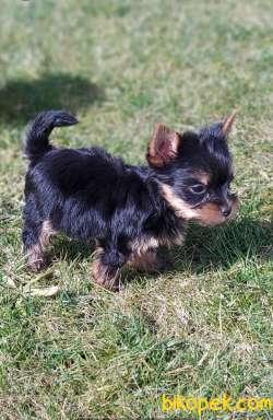 Yorkshire Terrier 3