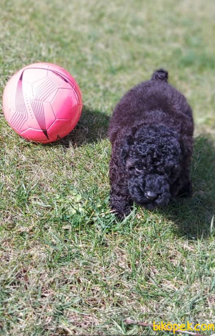 Toy-Poodle 4