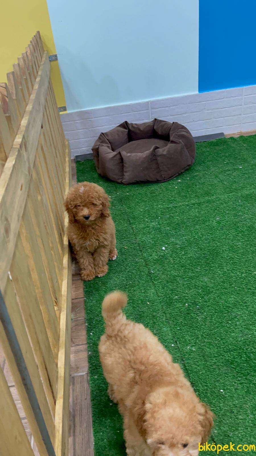 Toy Poodle 3