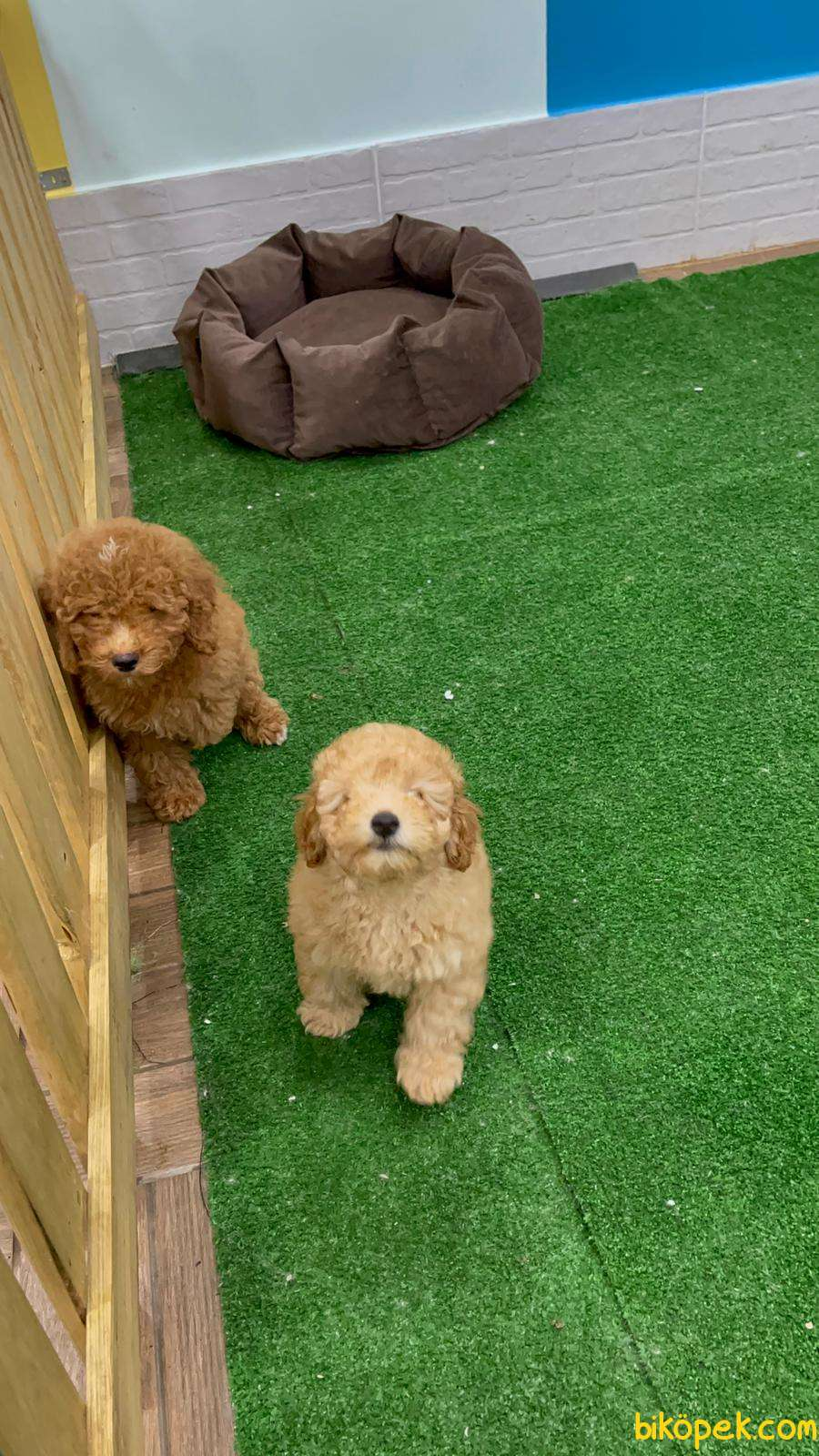 Toy Poodle 1
