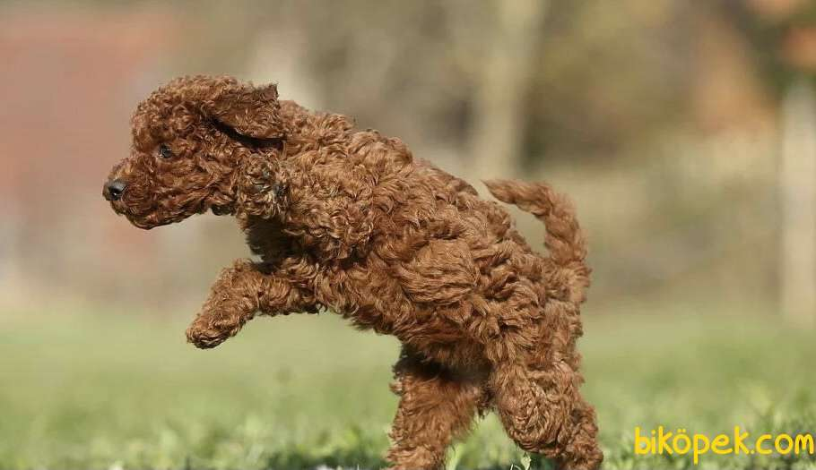 Toy Poodle Red Brown Safkan Belgeli Yavrularımız 2