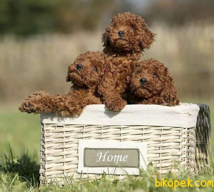 Toy Poodle Red Brown Safkan Belgeli Yavrularımız 1