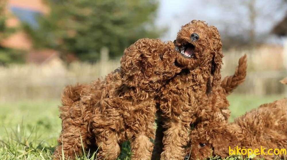 Toy Poodle Red Brown Safkan Belgeli Yavrularımız 4