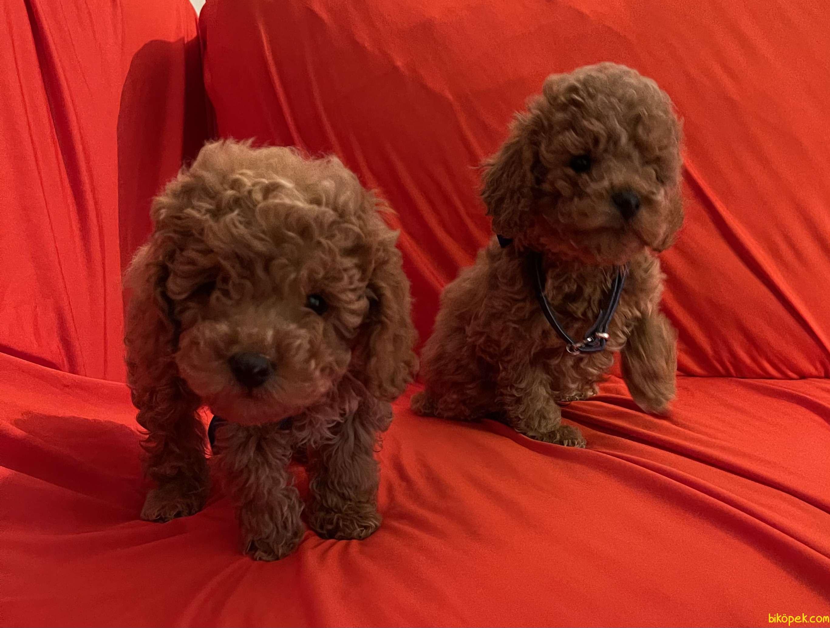 Toy Poodle Red Brown Yavrularımız 1