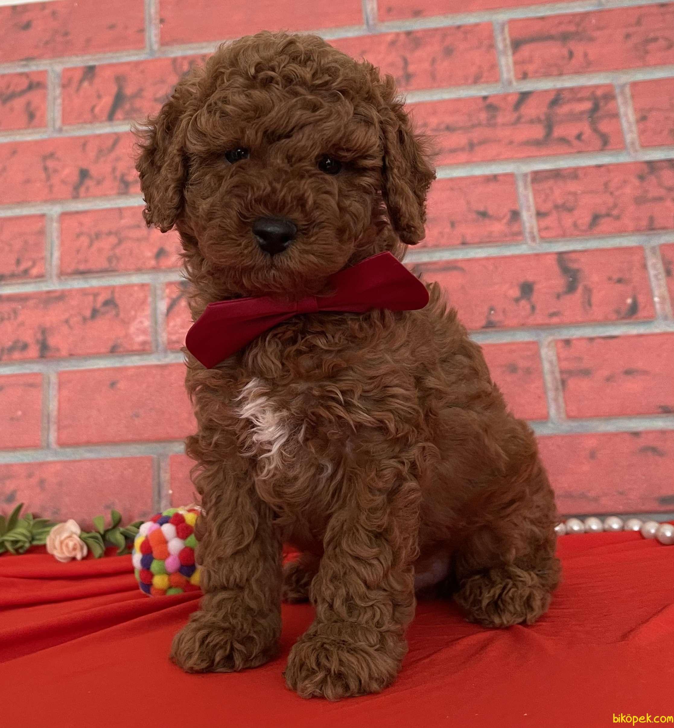 Toy Poodle Red Brown Yavrularımız 3