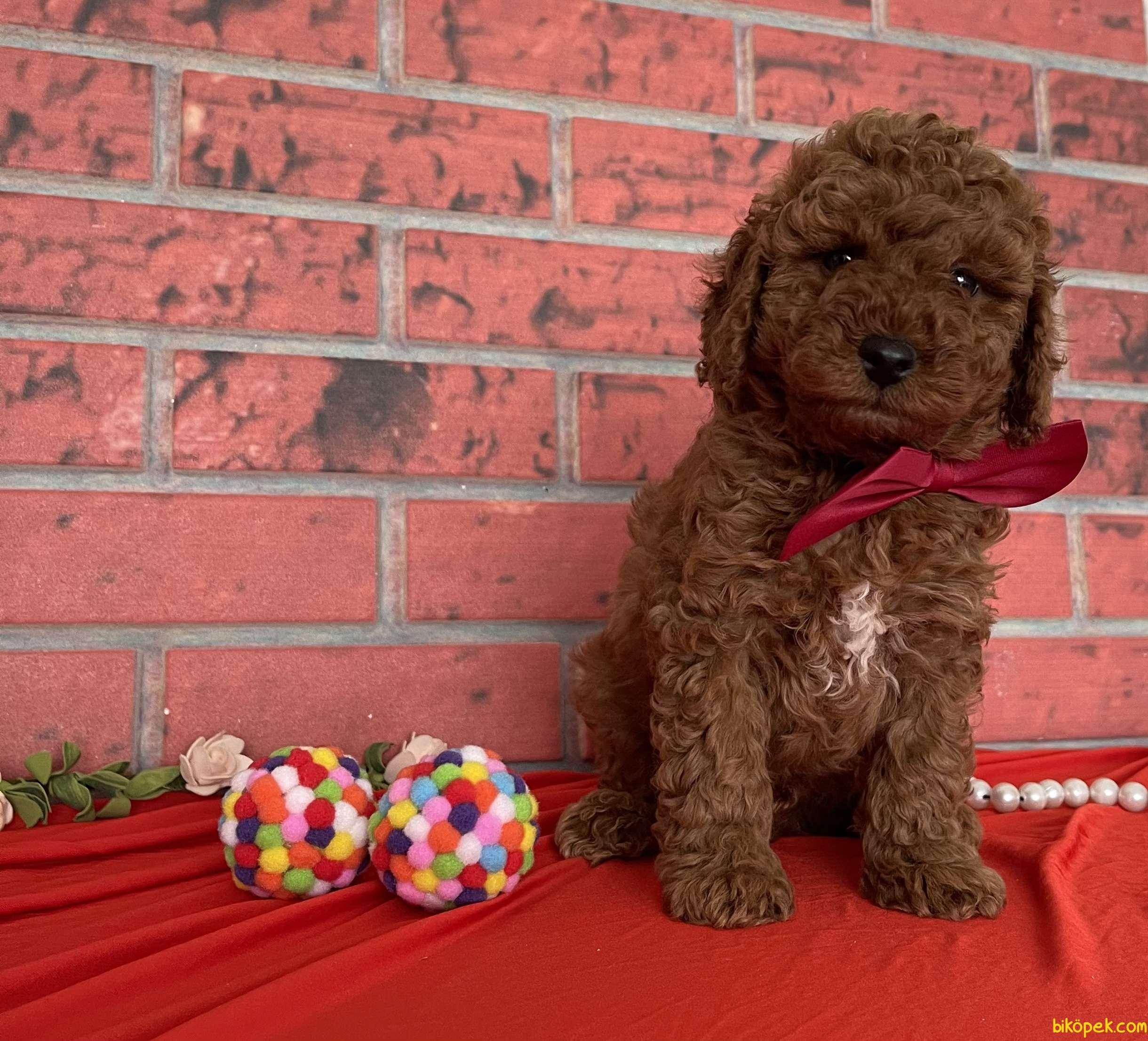 Toy Poodle Red Brown Yavrularımız 2