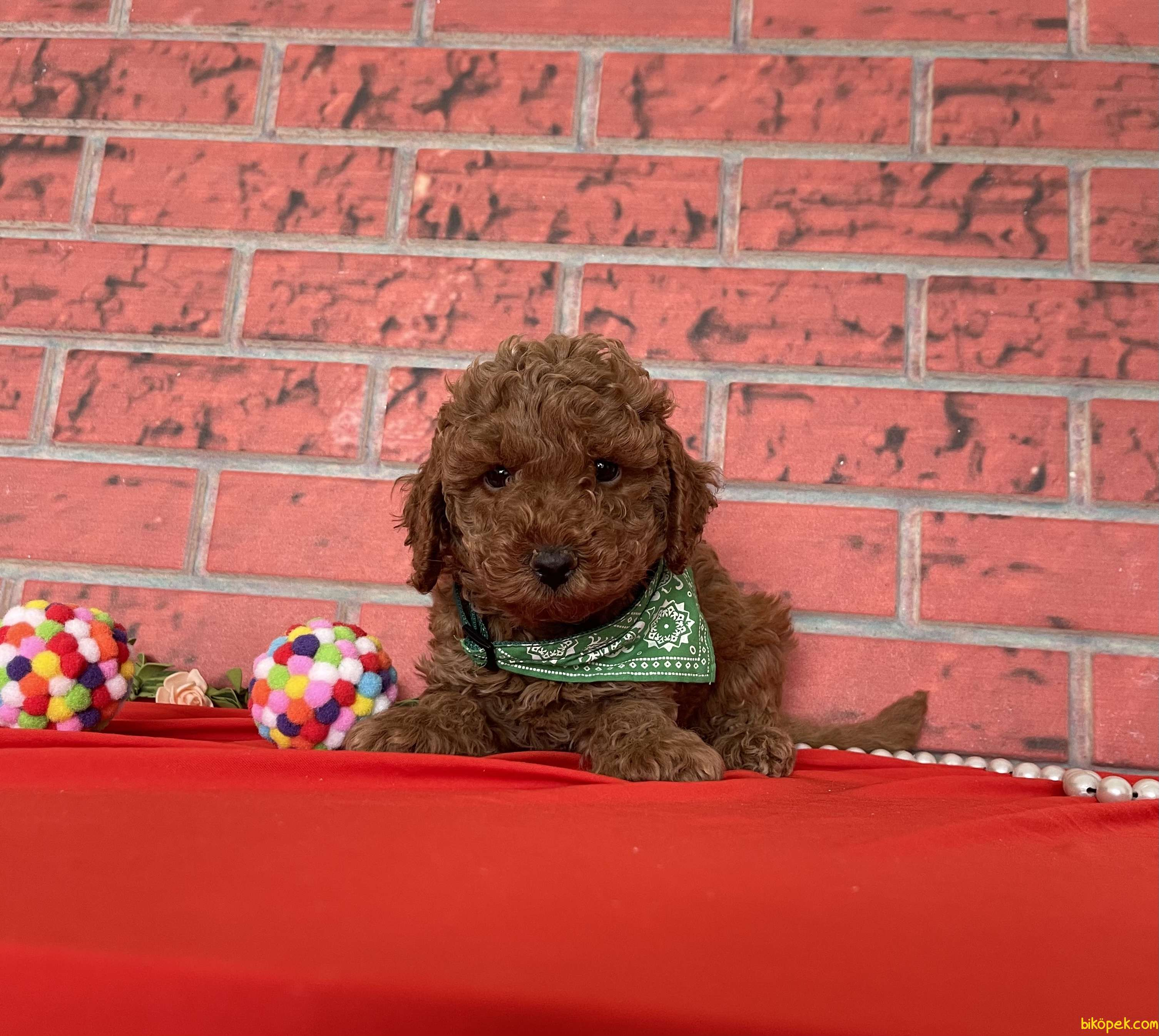 Toy Poodle Red Brown Yavrularımız 4