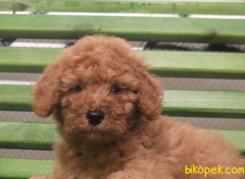 Toy Poodle Redbrown Orjinal Safkan Garantli 1