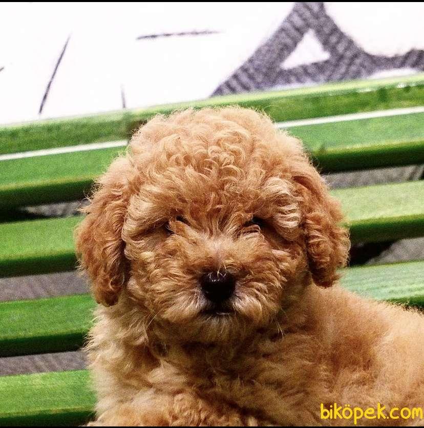 Toy Poodle Redbrown Orjinal Safkan Garantli 3