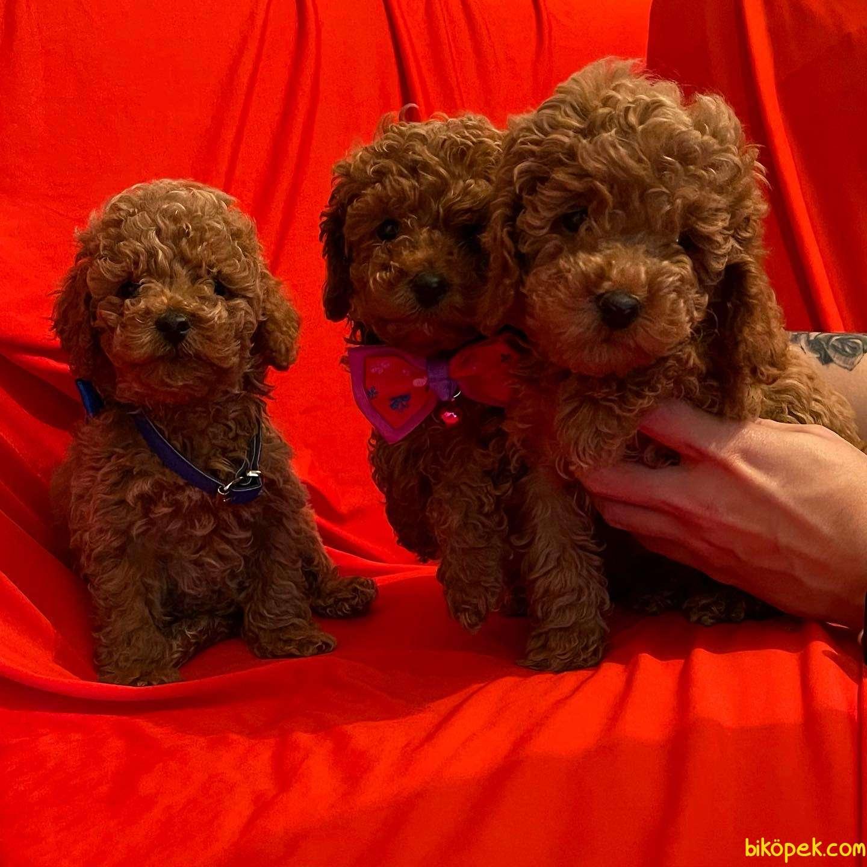 Toy Poodle Safkan Belgeli Her Renk Yavrularımız 4