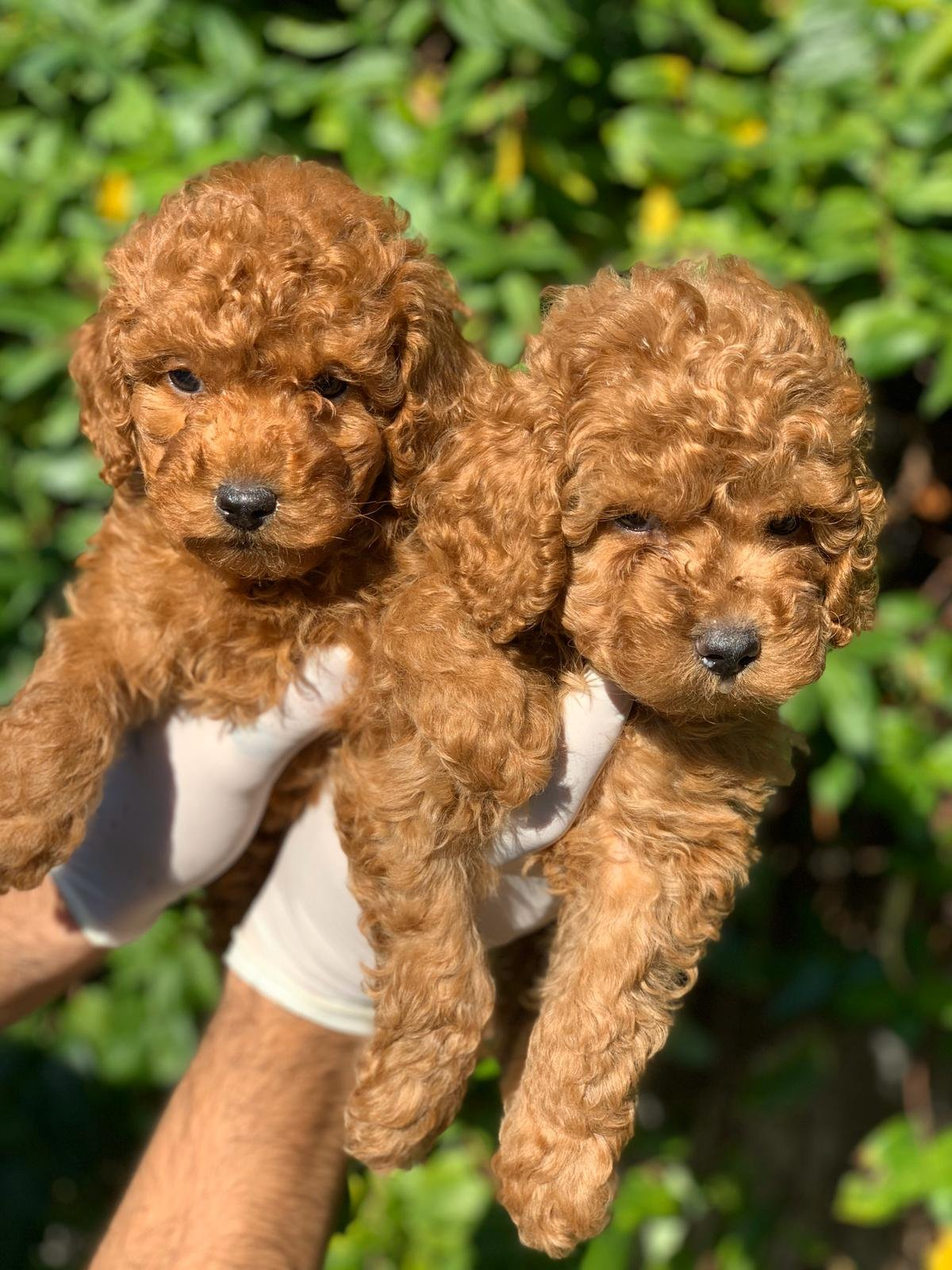 Toy Poodle Yavrular 3