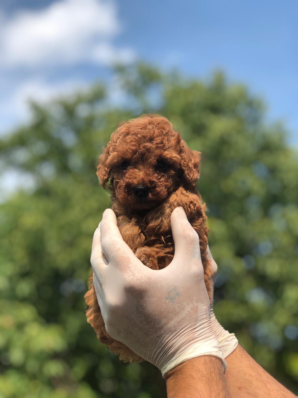 Toy Poodle Yavrular 1