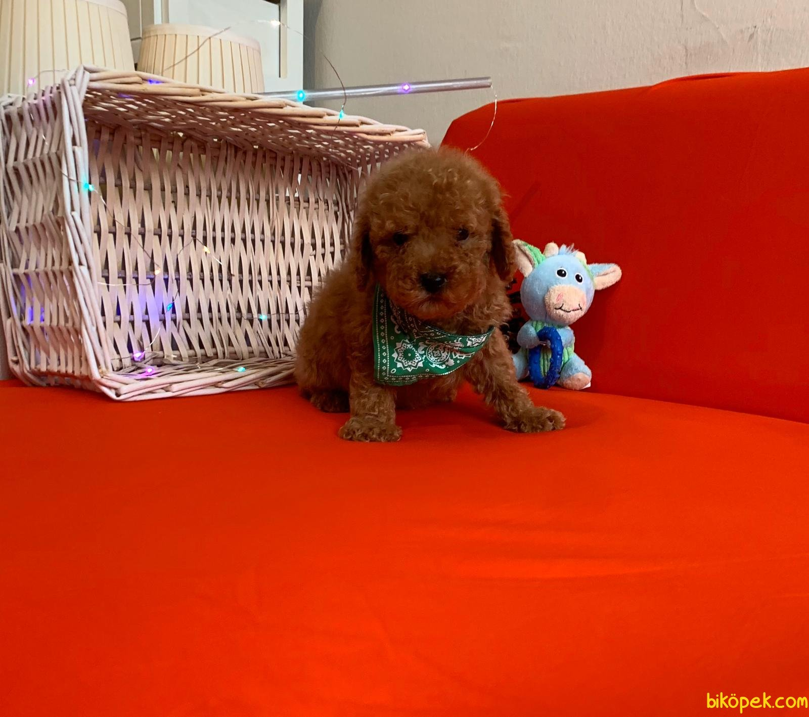 Toy Poodle Yavrular 2