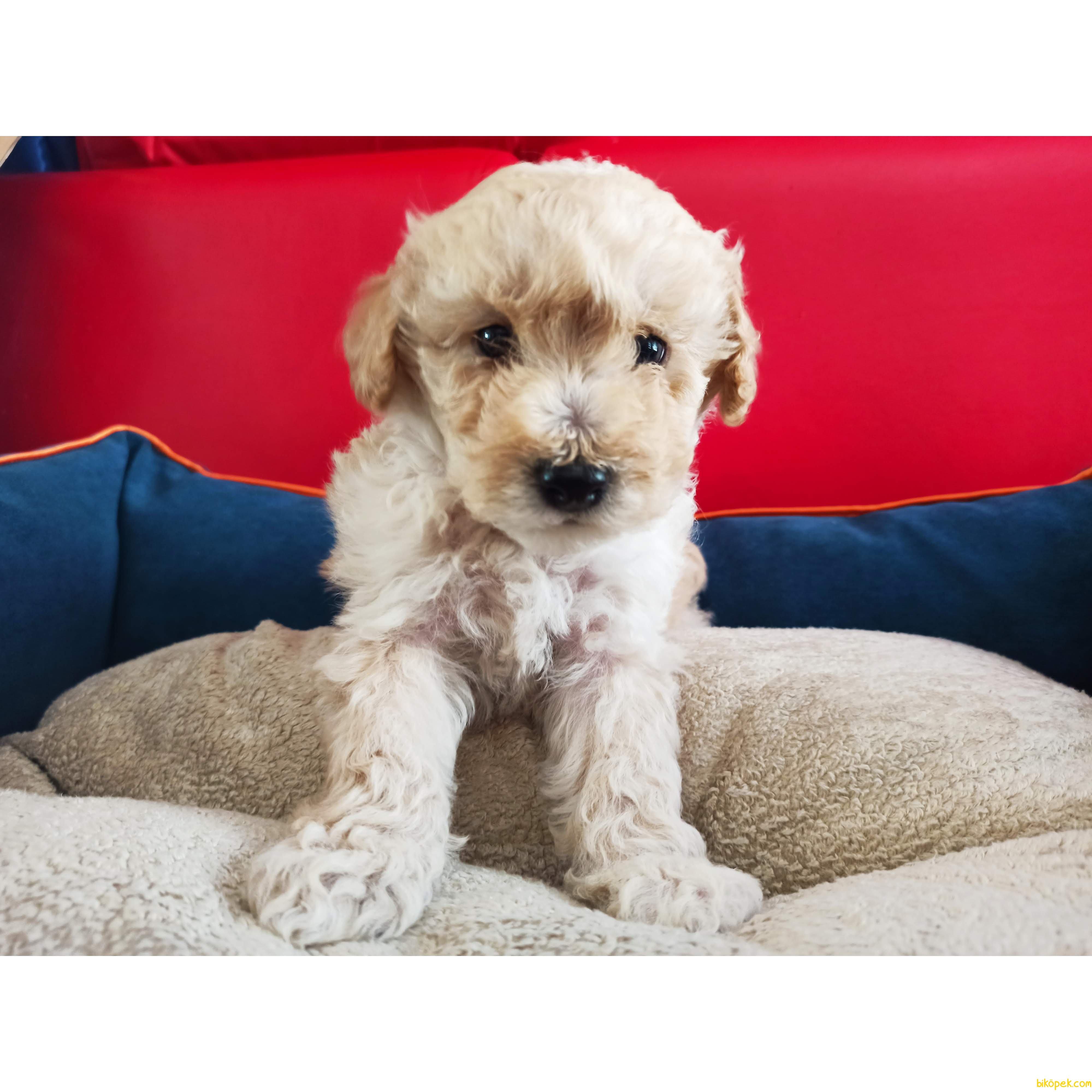 Teacup Büyümeyen Toy Poodle 2