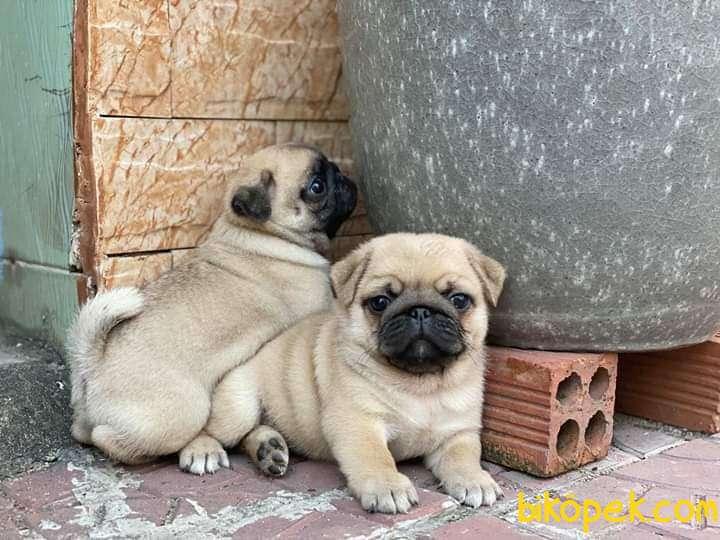 Tükiye Nin En Garantili Pug Yavruları 3