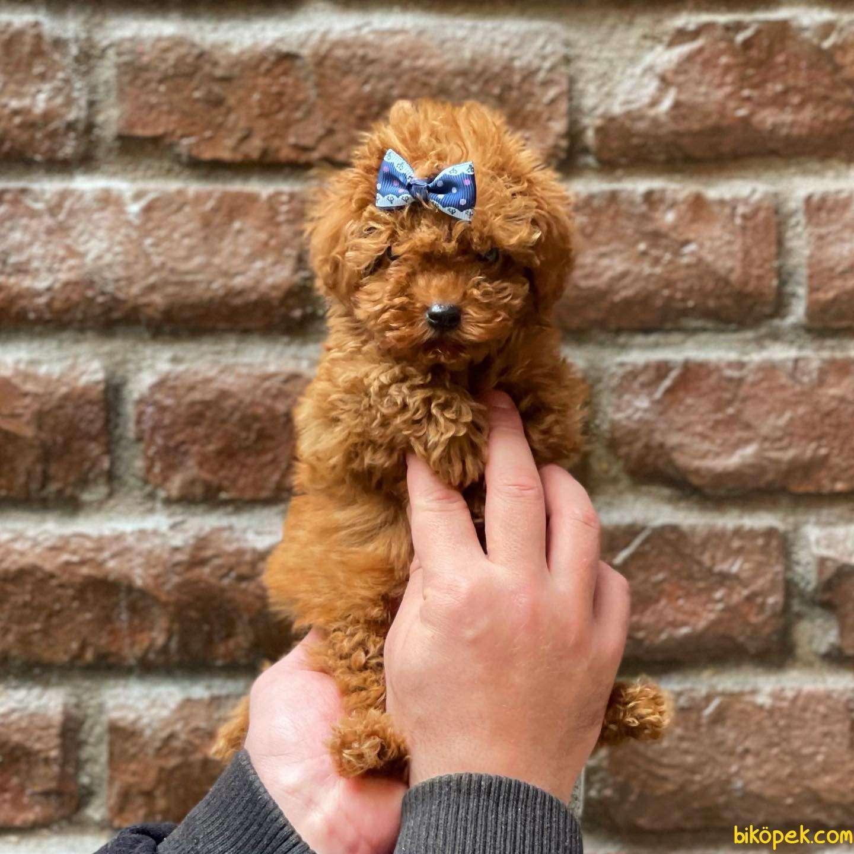 Tüm Renk Çeşitleri Ile Toy Poodle Yavrularımız 1