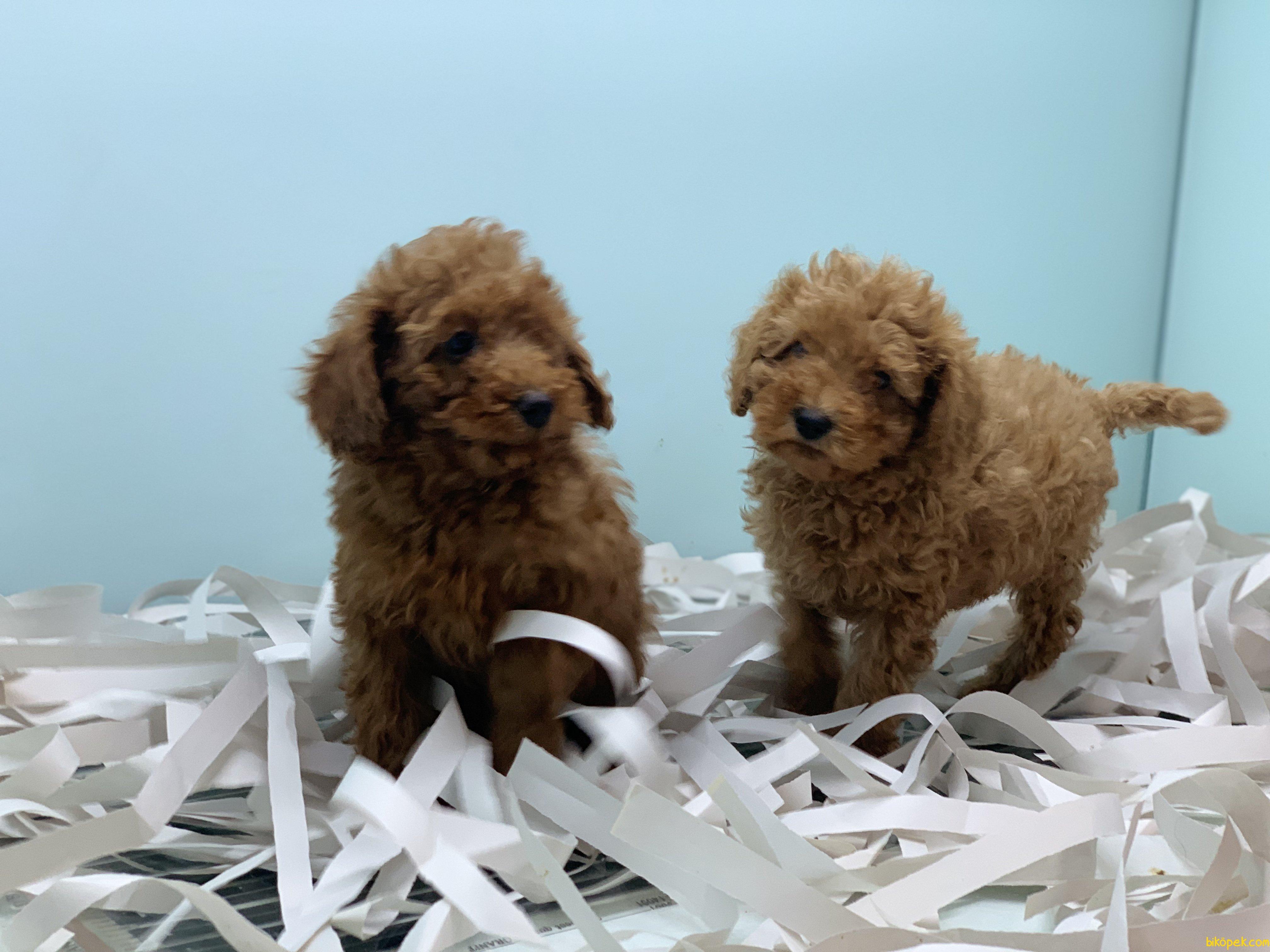 Ultra Kalite Red Toy Poodle Yavrularımız 1