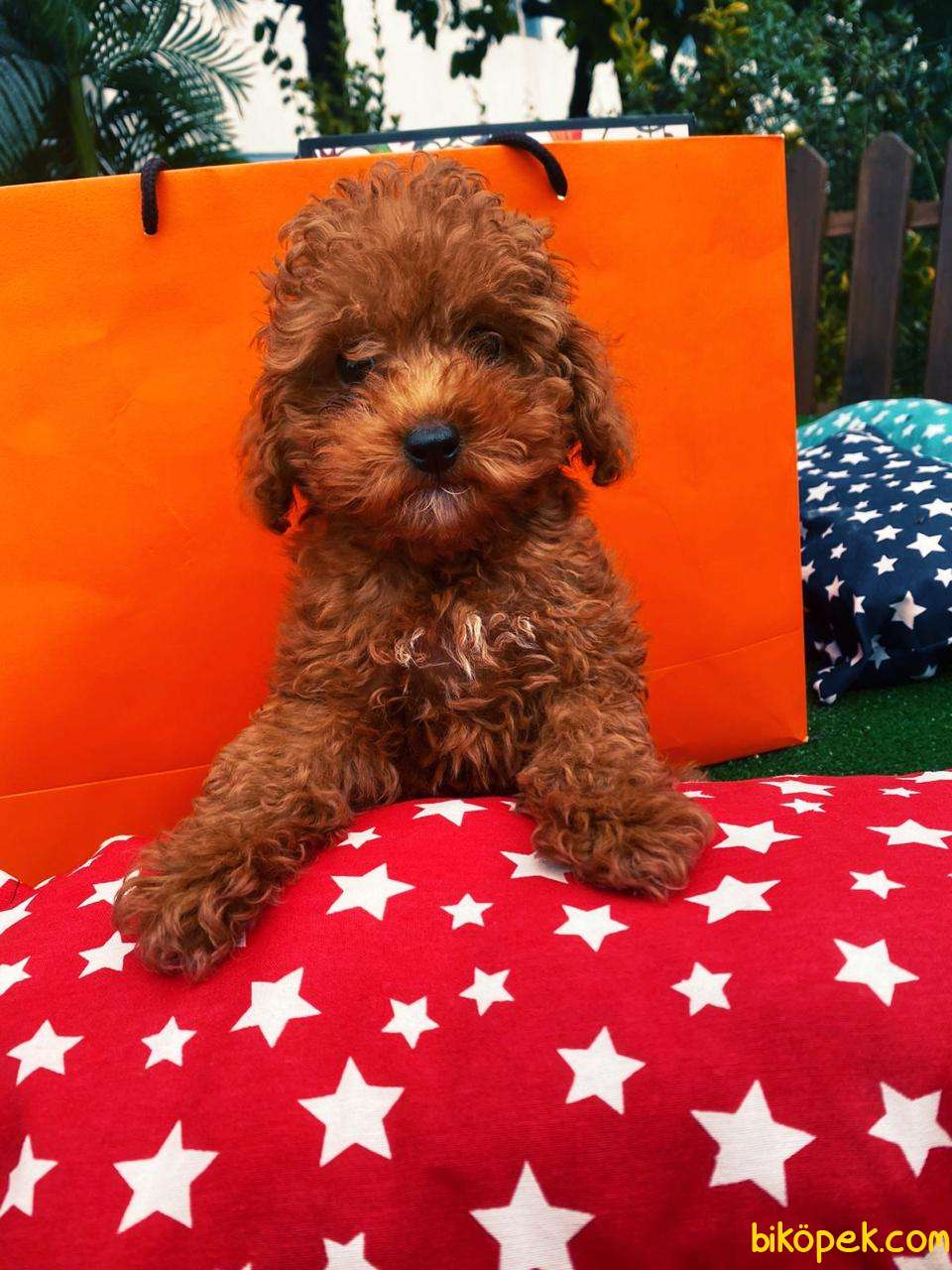 Ücretli Wc Eği̇ti̇mli̇ Özel Renk Poodle Yavrular 3