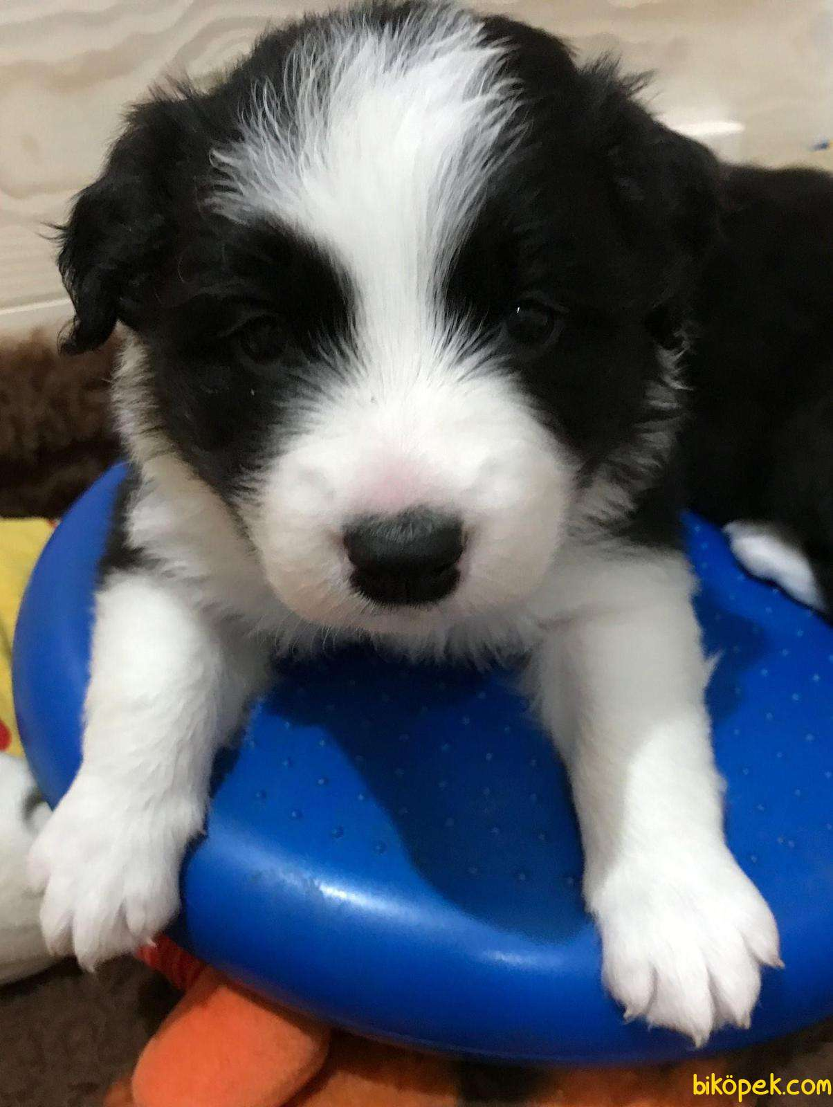 Welsh Corgi Kraliyet Ailesi Köpeği ÖZel Irk 2