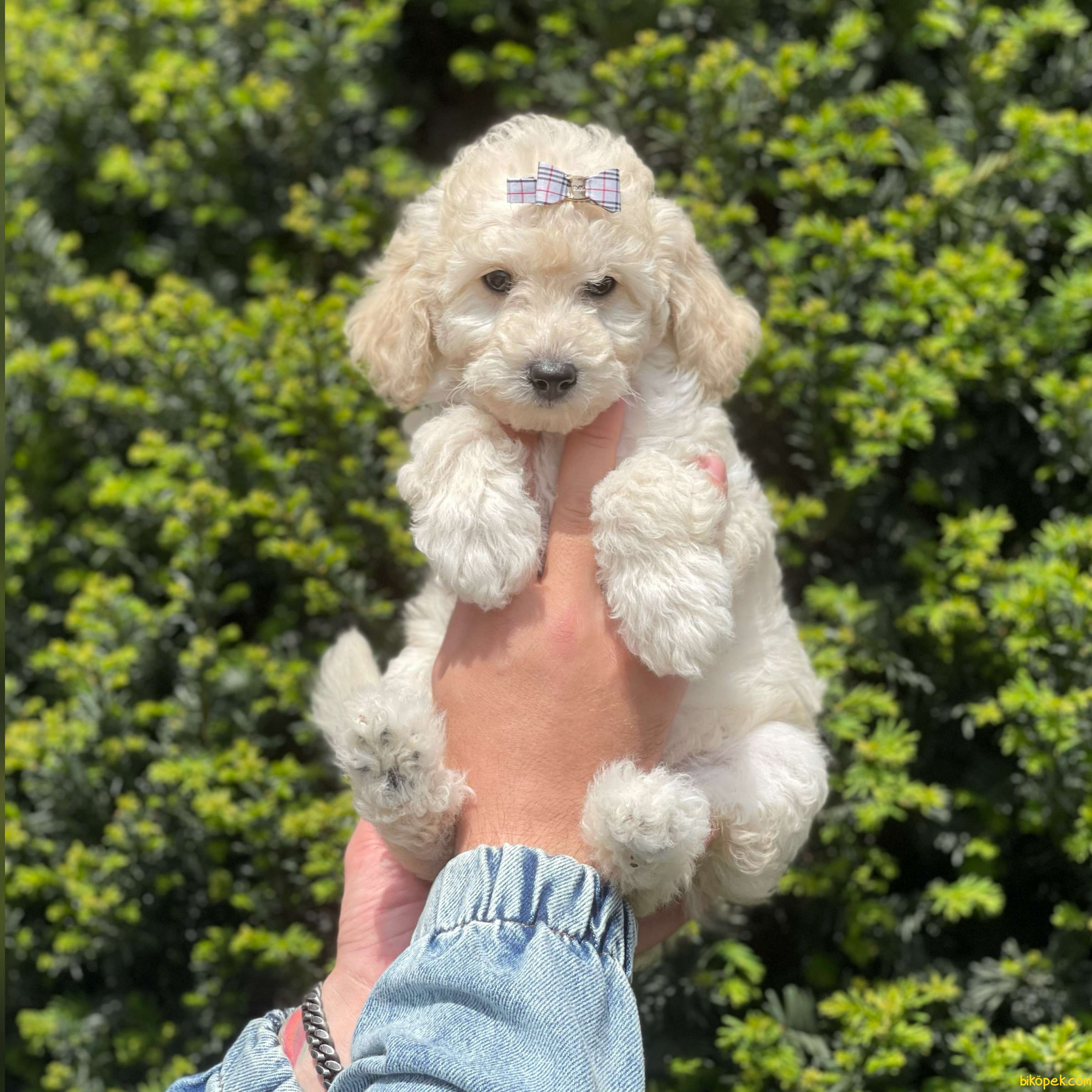 White Minyatür Poodle Yavrularımız 3