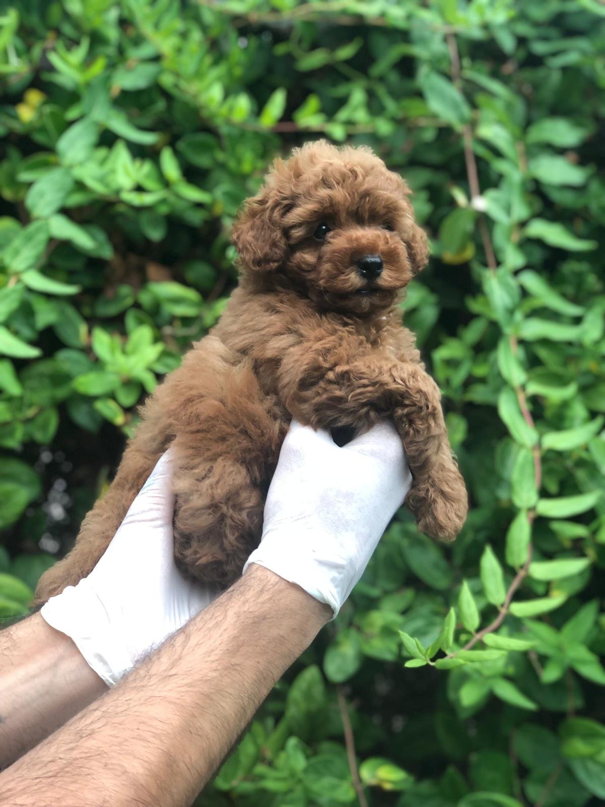 X Small Toy Poodle 2